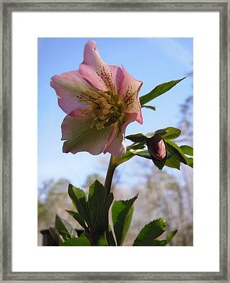 Hellebore Morning Framed Print