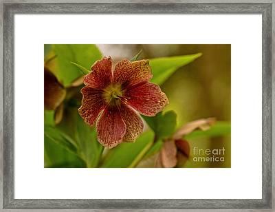 Hellebore Framed Print by Patricia Strand