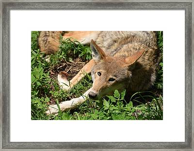 Hello Wolf Framed Print