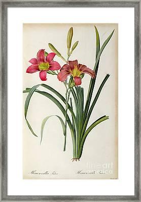 Hemerocallis Fulva Framed Print by Pierre Joseph Redoute