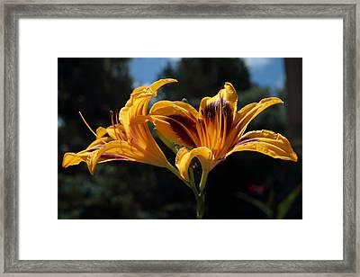 Hemerocallis Framed Print