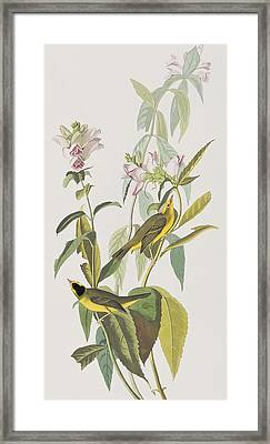 Hemlock Warbler Framed Print by John James Audubon