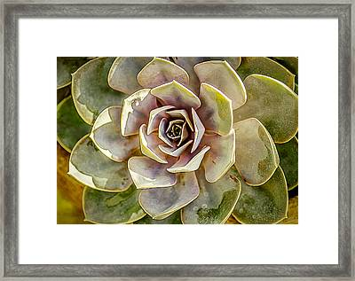 Hen And Chick Cactus Framed Print