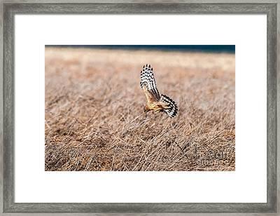 Hen Harrier Framed Print