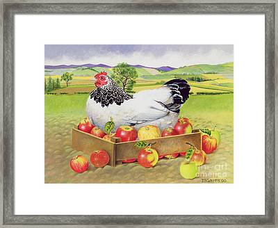 Hen In A Box Of Apples Framed Print