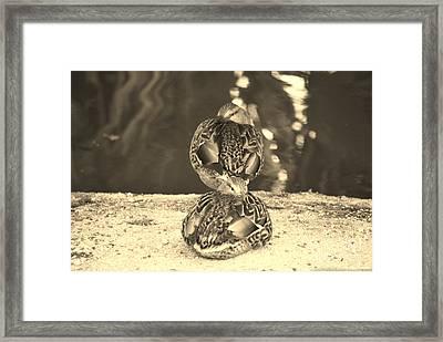 Hen Mallard Ducks Framed Print by Donna Greene
