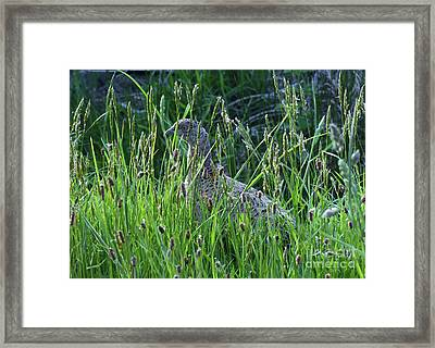 Hen Pheasant In Long Grass Framed Print by Phil Banks