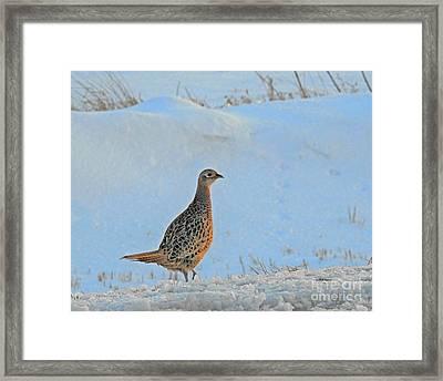 Hen Pheasant Framed Print