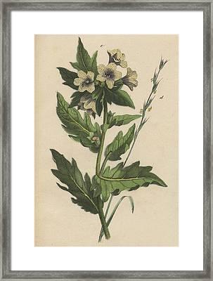 Henbane Hyoscyamus Niger Framed Print by German Botanical Artist