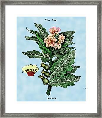 Henbane Framed Print