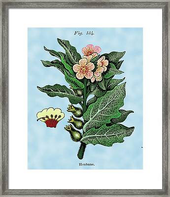 Henbane Framed Print by Ziva