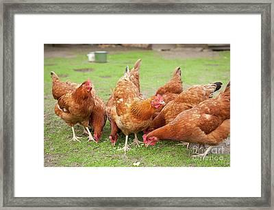 Hens Flock Eating Noodles Framed Print by Arletta Cwalina
