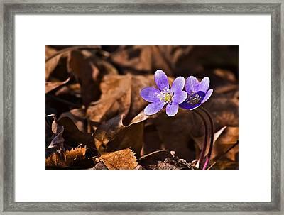 Hepatica Flower Framed Print by Michael Whitaker