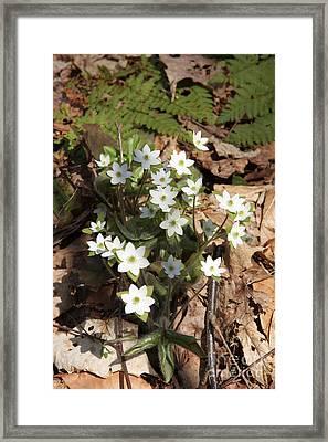 Hepatica Flowers Framed Print