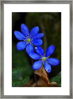 Hepatica Nobilis Framed Print