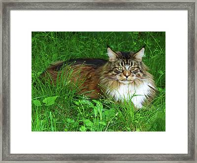 Framed Print featuring the photograph Hercules Maine Coon Elegance by Roger Bester