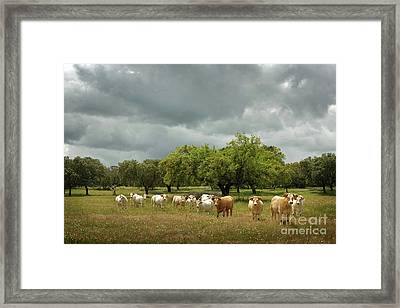 Herd Of Cows Framed Print by Carlos Caetano