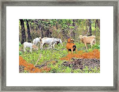 Herd Of Goats In Osage County Framed Print by Janette Boyd