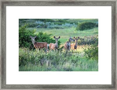 Herd Of Muleys Framed Print by Todd Klassy