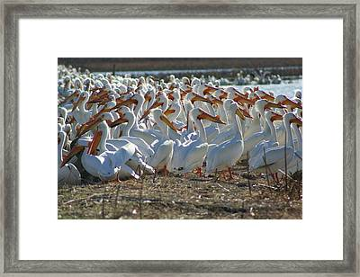 Herd Of Pelicans Framed Print by Shari Morehead