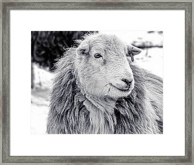 Herdwick Sheep Framed Print