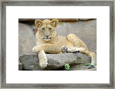 Here Kitty Kitty Framed Print by Dyle   Warren