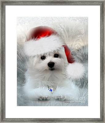 Hermes The Maltese At Christmas Framed Print