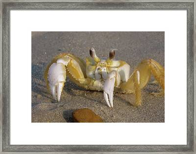 Hermit Crab Framed Print by JAMART Photography