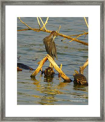 Heron And Turtle Framed Print by Robert Frederick