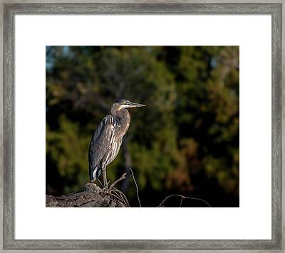 Heron At Sunrise Framed Print