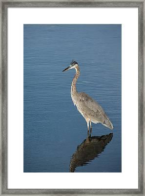 Heron Beauty Framed Print by Karol Livote