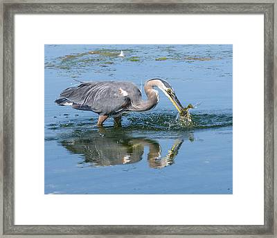 Great Blue Heron Catches A Fish Framed Print