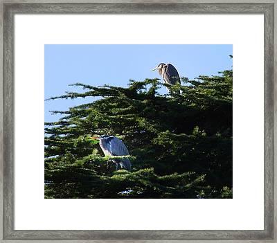Heron Family At Rest Framed Print