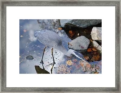 Heron Fishing Photograph Framed Print by Don  Wright