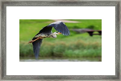 Framed Print featuring the photograph Heron Flying Turning In Flight by Scott Lyons