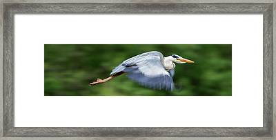 Framed Print featuring the photograph Heron Flying Wings Down by Scott Lyons