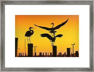 Heron Gathering Framed Print by Amy Jackson