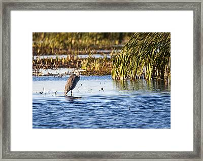 Heron - Horicon Marsh - Wisconsin Framed Print