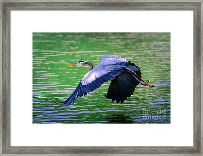Heron In Flight At Honor Heights Park Framed Print by Tamyra Ayles