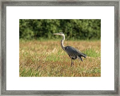Heron In The Field Framed Print