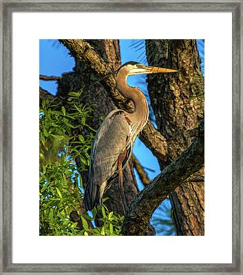 Heron In The Pine Tree Framed Print