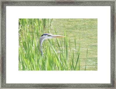 Heron In The Reeds Framed Print by Anita Oakley