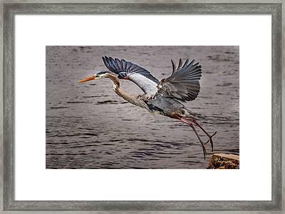 Heron Lift Off Framed Print by Jean Noren