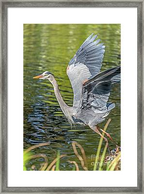 Heron Liftoff Framed Print
