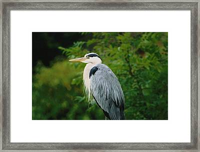 Heron Framed Print by Martina Fagan