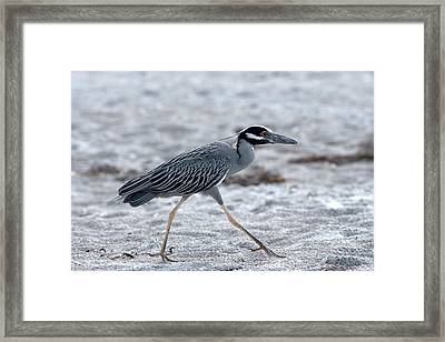 Yellow-crowned Night Heron On A Mission Framed Print