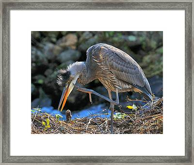 Framed Print featuring the photograph Heron Scratch by Debbie Stahre