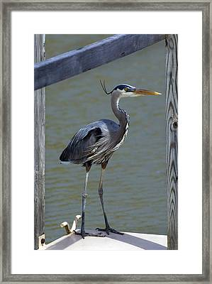Heron Standing Framed Print by Kathleen Stephens