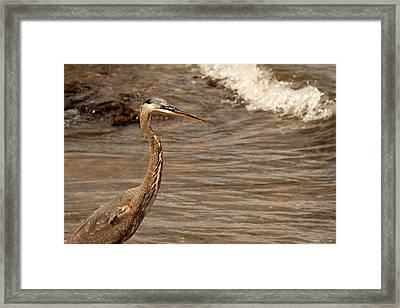 Heron Supper Framed Print by Greg Simmons