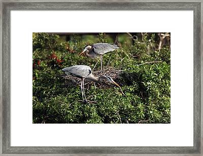 Heron Team Building Framed Print by David Yunker